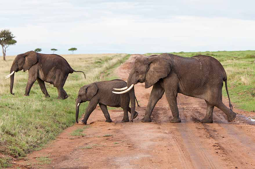 Elephants met on the slopes of Kenya, on your motorcycle trip with Fred and Planet Ride