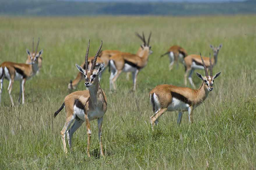 Thomson Gazelles from Masai Mara, on your trip to Kenya with Fred and Planet Ride
