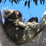 voyage camping car australie koala