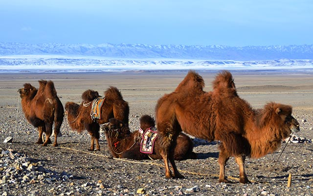 planet-ride-voyage-mongolie-4x4-chameaux-fourrure-steppe