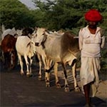 planet-ride-voyage-moto-inde-vaches-troupeau-rajasthan