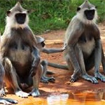 planet-ride-voyage-moto-sri-lanka-singes-terre