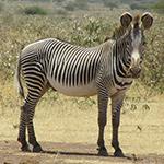 Zèbres à Malaral, lors de votre raid 4x4 Kenya