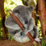 Koala de Lone Pine Sanctuary, lors de votre voyage en Australie à moto avec Planet Ride