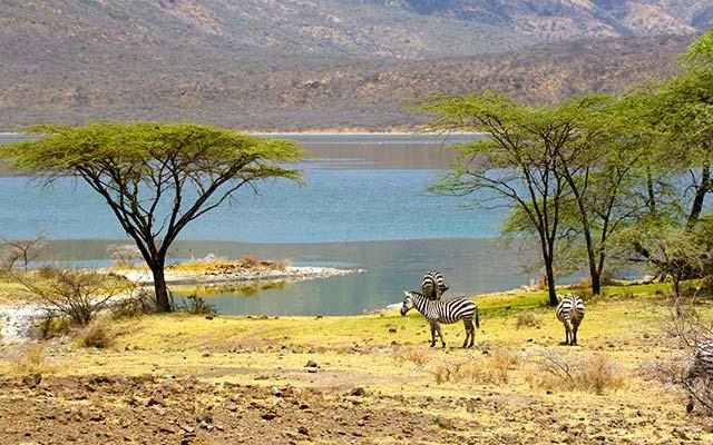 Zèbres à Bogoria, lors de votre voyage au Kenya en 4x4 avec Planet Ride