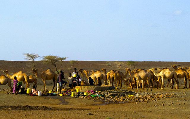 Dromadaires au nord du Kenya, lors de votre voyage au Kenya en 4x4 avec Planet Ride