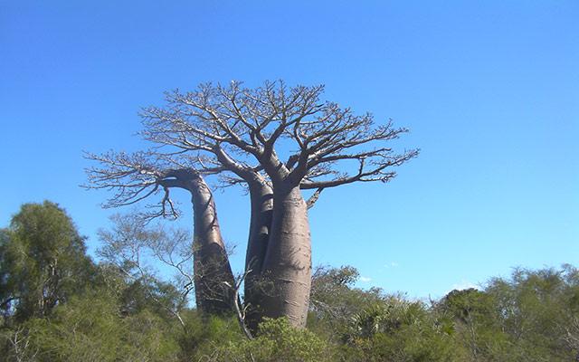 Voyage moto à Madagascar - Baobab