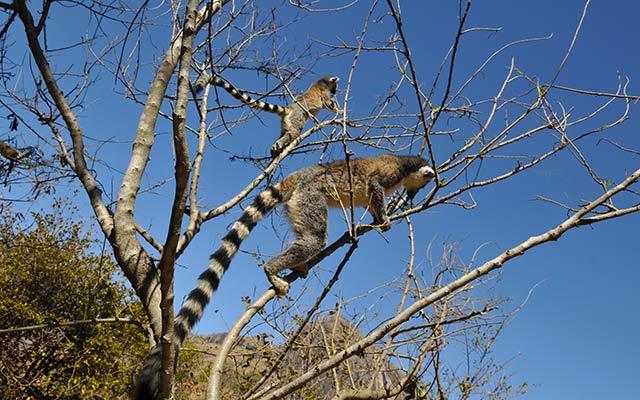 Voyage à Madagascar - Lémuriens