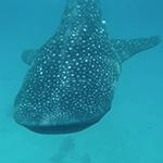 Requin baleine, lors de votre voyage aux Philipines à moto avec Planet Ride et Philippe