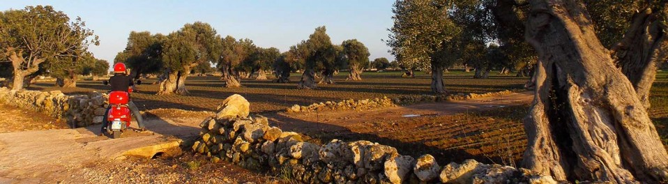 Countless ancient olive trees | At Locororondo | On your trip in Puglia, Italy on a Vespa with Planet Ride