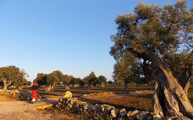 Plaine des oliviers millénaires dans les Pouilles, lors de votre voyage en Italie en Vespa avec Planet Ride et Roberta