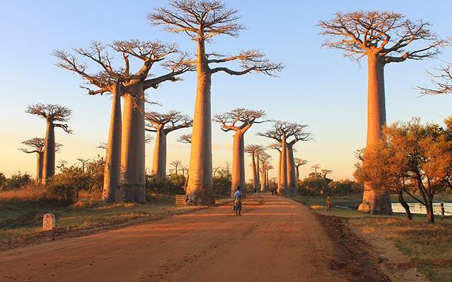 L'allée des baobabs, lors de votre voyage à Madagascar à moto avec Planet Ride et Jean