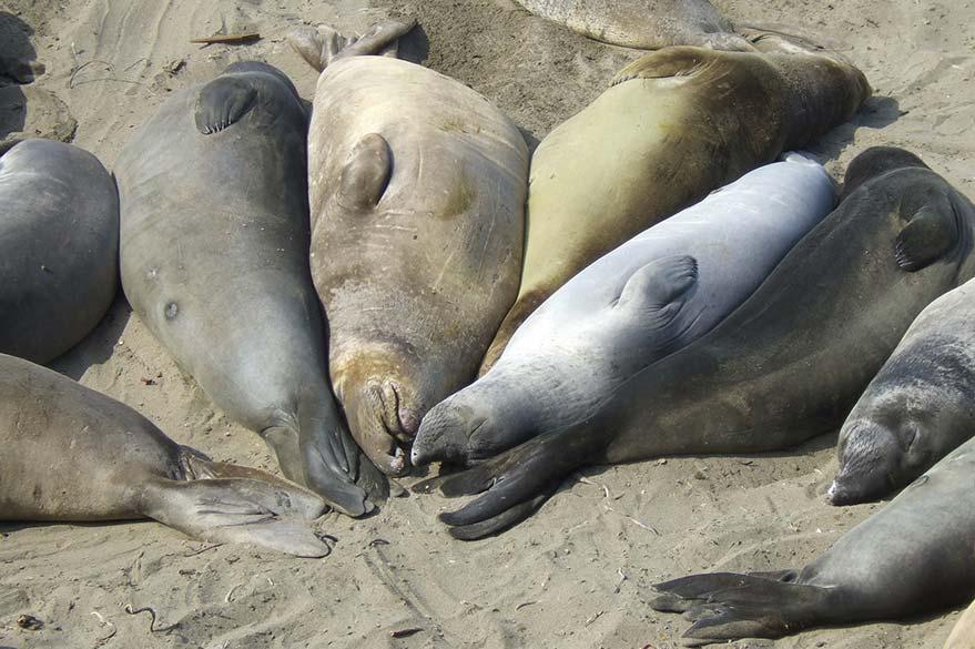 Lions de mer sur une plage du Big Sur le long de la Highway 1