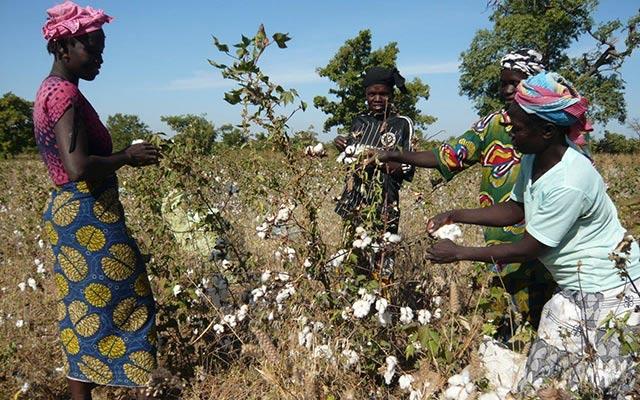 Champs de cottons lors de votre voyage au Burkina Faso en moto avec Planet Ride