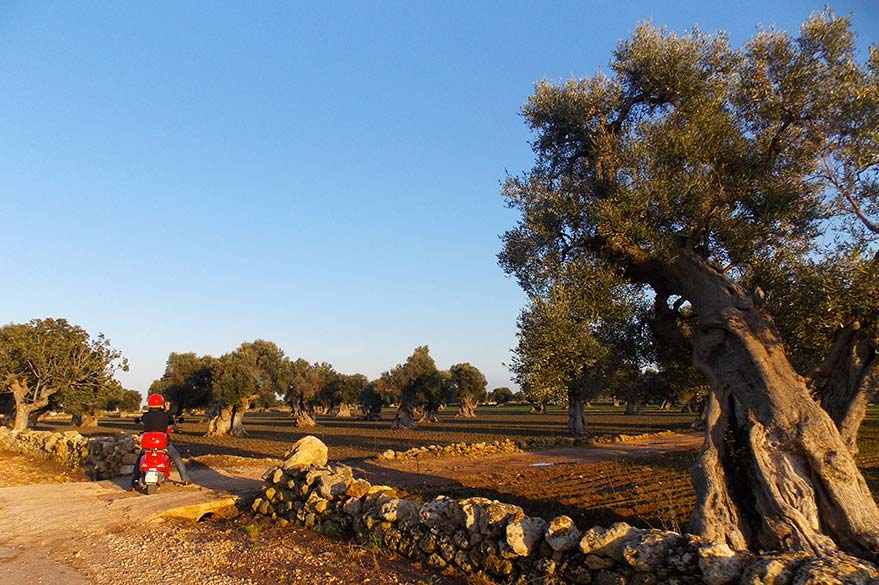 Olives millennia of Puglia, on your trip to Italy in Vespa with Roberta, partner specialist Planet Ride