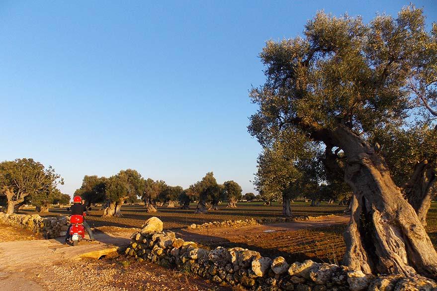 Oliviers Millénaires des Pouilles, lors de votre voyage en Italie en Vespa avec Roberta, Partenaire Spécialiste Planet Ride