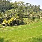 voyage en scooter à Bali Planet ride rizières