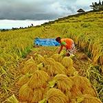 voyage en scooter riziere Bali indonésie
