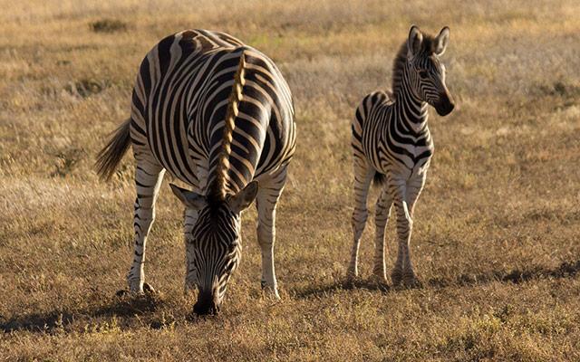 planet ride road trip afrique du sud moto zebres