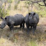rhino safari kruger