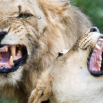 safari 4x4 lion