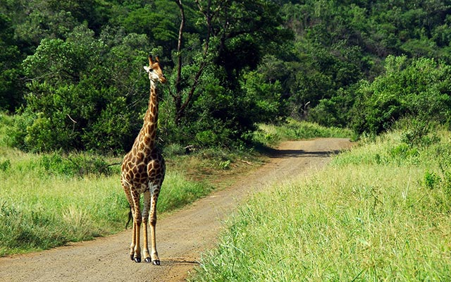 planet ride afrique kruger route girafe