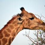 Planet Ride jour 10 safari Kruger girafe