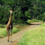 Planet Ride jour 6 safari parc Kruger girafe