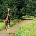 Planet Ride jour 6 safari parc Kruger girafe