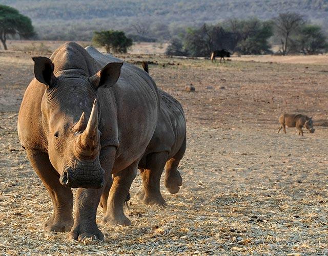 nam-rhino