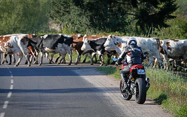 Vaches Auvergne moto