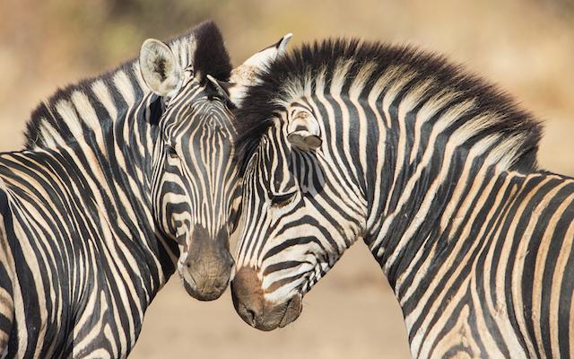 Zèbre au parc Kruger