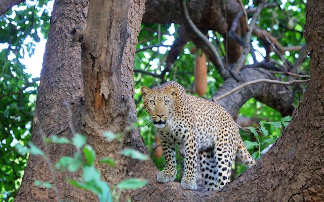 Guépard au parc Kruger